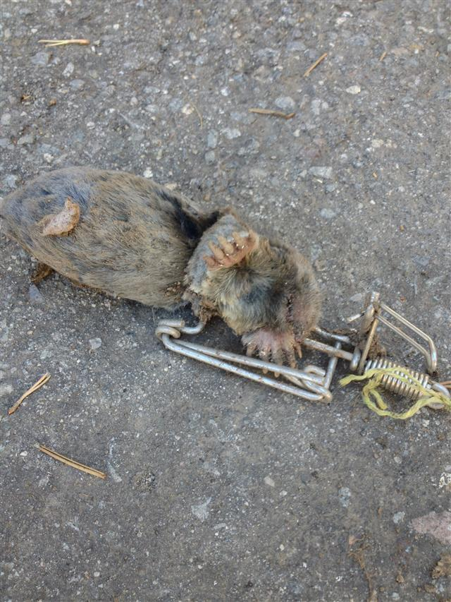 Vole trapping - Volle trap ...